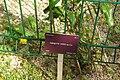 Lapageria rosea, Conservatoire botanique national de Brest 01.jpg