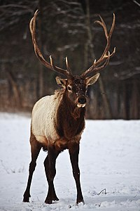 Large-bull-elk-stance - West Virginia - ForestWander.jpg