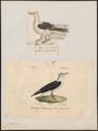 Larus fuscus - 1700-1880 - Print - Iconographia Zoologica - Special Collections University of Amsterdam - UBA01 IZ17900228.tif