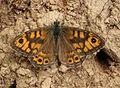 Lasiommata megera, Wall, Dolgarrog, North Wales, Sept 2015 - Flickr - janetgraham84.jpg