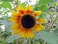 Late Summer Sunflower 1 (11488661363).jpg