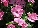 "Lavatera trimestris ""Pink Beauty"" 01"