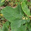 Leaf galls on oak - geograph.org.uk - 958058.jpg