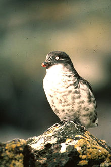 Least aukletLeast Auklet