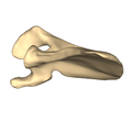 Left scapula - close-up - inferior view.png