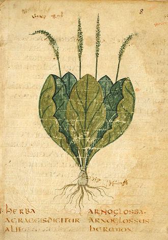Pseudo-Apuleius - Image: Leiden Arnoglossa
