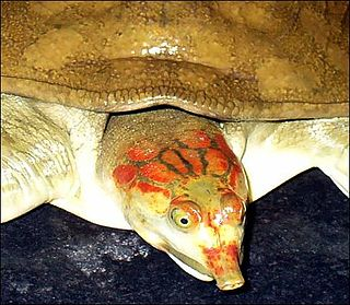 Leiths softshell turtle species of reptile