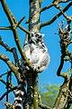 Lemur (35783807033).jpg