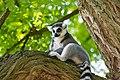Lemur (36276404633).jpg