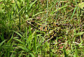 Leopard frog in green surrounding - edit.jpg