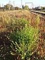 Lepidium virginicum (subsp. virginicum) sl16.jpg