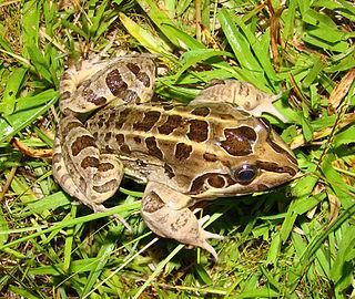 <i>Leptodactylus latrans</i> Species of frog