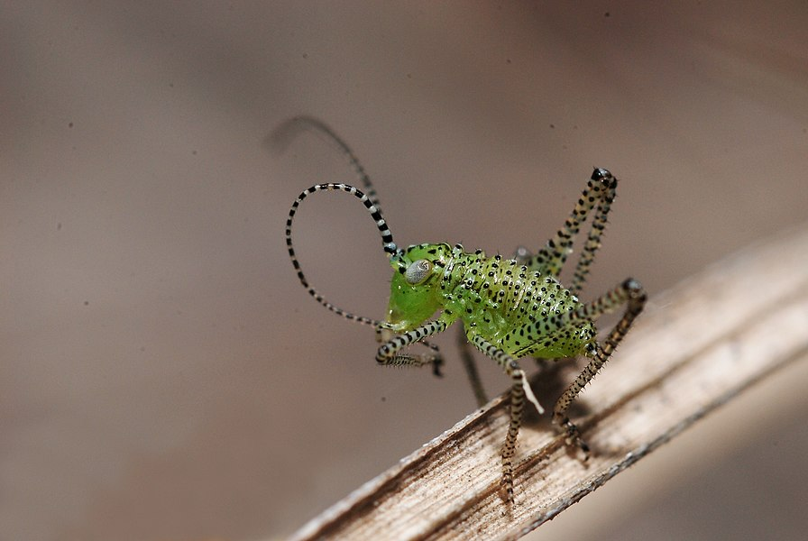 Leptophyes punctatissima (highly probably) first or second instar larva