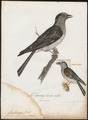 Leptosomus discolor - 1796-1808 - Print - Iconographia Zoologica - Special Collections University of Amsterdam - UBA01 IZ16700269.tif
