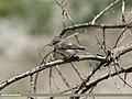 Lesser Whitethroat (Sylvia curruca) (30196552020).jpg