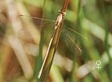 Lestes umbrinus female by Manoj V Nair.jpg