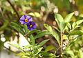 Letzte Blüten am Enzianstrauch (Solanum rantonettii) (15815436362).jpg
