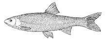 Common dace - Wikipedia