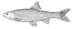 Common dace - Image: Leuciscus leuciscus drawing