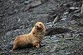 Leucistic Antarctic Fur Seal (Arctocephalus gazella) in the South Orkney Islands.jpg