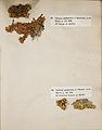Lichenes Helvetici I II 1842 012.jpg