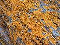 Licheni su roccia.jpg