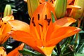 Lilium Tiny Dino 0zz.jpg
