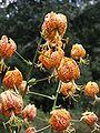 Lilium humboldtii 1a.jpg