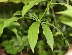 Lilium medeoloides - Image: Lilium medeoloides leaves