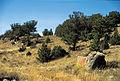 Limber pine savannah.jpg