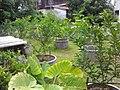 Lime garden in Nong khai, Thailand - panoramio (2).jpg