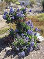 Limonium sventenii in the south part of Gran Canaria.jpg