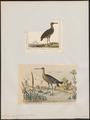 Limosa aegocephala - 1700-1880 - Print - Iconographia Zoologica - Special Collections University of Amsterdam - UBA01 IZ17400013.tif