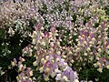 Linaria from Lalbagh flower show Aug 2013 7941.JPG