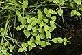 Lindernia crustacea 0660.jpg