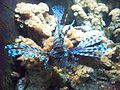 Lionfish Milwaukee County Zoo.jpg