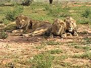 180px-Lions_lying