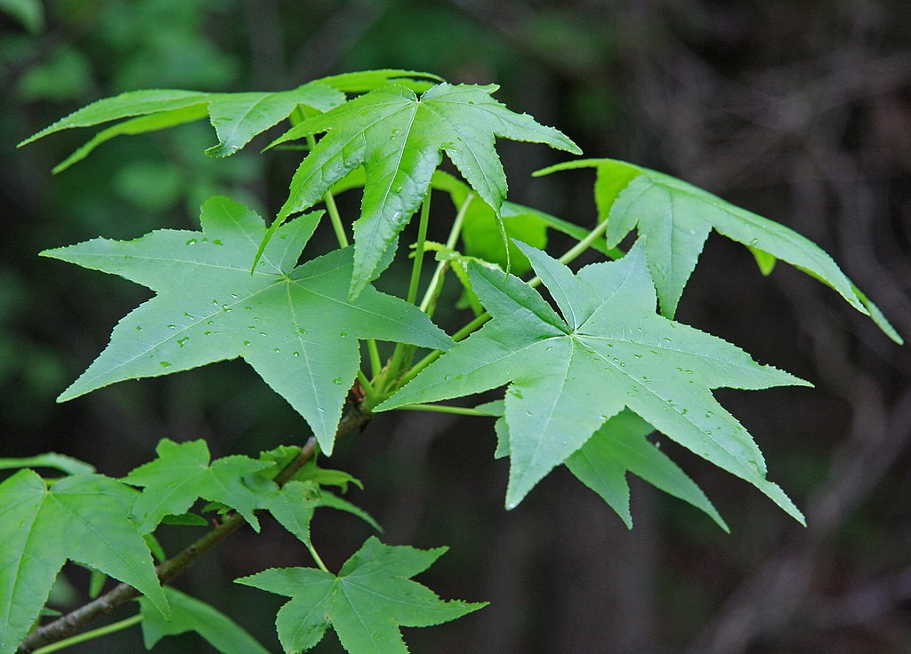 Liquidambar leaves