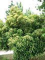 Lithocarpus edulis7.jpg
