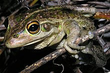Litoria moorei brown.JPG