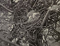 Little Green Heron Hatchlings - 1905.jpg