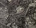 Little Green Heron Hatchlings - 1905.jpg