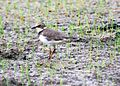 Little Ringed Plover.jpg