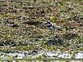 Little Ringed Plover (Charadrius dubius) (34122080613).jpg