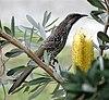 Littlewattlebird2