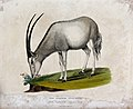 London; Zoological society of London, an antelope Lycoureux Wellcome V0023092.jpg