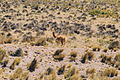 Lonely alpaca in Peru.jpg