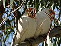 Long-billed Corellas, Barmah National Park, Victoria.jpg