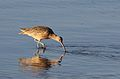 Long-billed curlew, Numenius americanus, Moss Landing (Elkhorn Slough and beach), California, USA. (30953846815).jpg