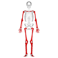 Long bones - anterior view.png